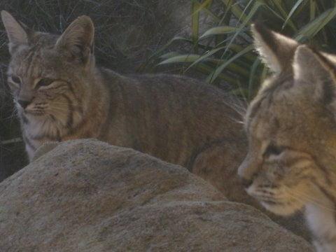 Bobcat twins