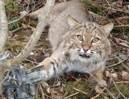 Bobcat Trapping has Sadly Come to Joshua Tree