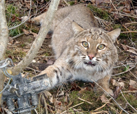 Caught bobcat