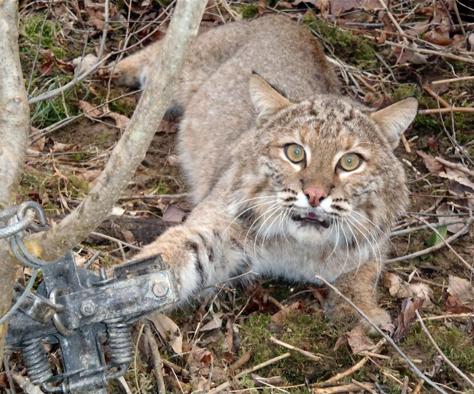 Caught bobcat